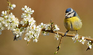 RF- Blue Tit (Parus caeruleus) perched on blossoming twig. Wales, UK, April. (This image may be licensed either as rights managed or royalty free.) - Andy  Rouse