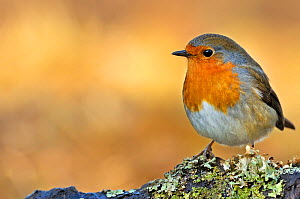 Portrait of European Robin (Erithacus rubecula) perched on lichen. Wales, UK, February.  -  Andy Rouse