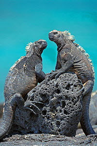 Two Marine Iguana (Amblyrhynchus cristatus) basking on a volcanic rock. Puerto Egas, Galapagos, September. - Andy Rouse