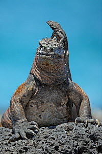 Marine Iguana (Amblyrhynchus cristatus) with friendly Lava Lizard (Tropidurus) perched on its head. Puerto Egas, Galapagos, September. - Andy Rouse