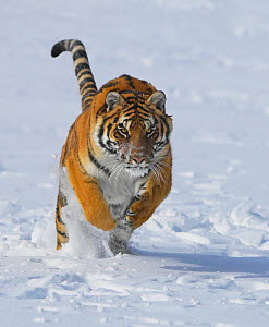 Siberian Tiger (Panthera tigris altaica) running in snow. Captive. (non-ex) - Andy Rouse