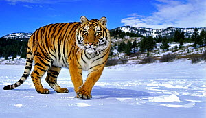 RF- Siberian Tiger (Panthera tigris altaica) walking in snow. Captive. Endangered species. (This image may be licensed either as rights managed or royalty free.)  -  Andy  Rouse