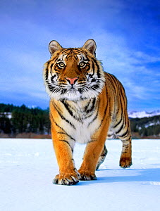 Siberian Tiger (Panthera tigris altaica) walking on snow. Captive. (non-ex) - Andy Rouse