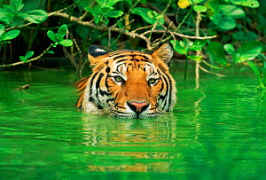 Indo-chinese Tiger (Panthera tigris corbetti)~in water. Thailand captive (non-ex)  -  Andy Rouse