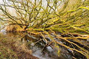 Fallen willow tree (Salix sp.) at the edge of a frozen lake. Chew Valley Lake, UK, January  -  Nick Upton