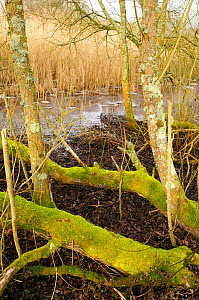 Living and fallen moss-covered Willow trees (Salix sp.) in front of a reed bed (Phragmites australis), and frozen lake edge. Chew Valley Lake, UK, January  -  Nick Upton