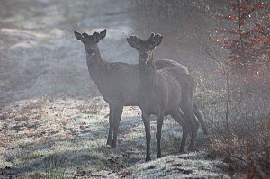 Red deer (Cervus elaphus) two males in forest, with new antlers growing, Vosges forest, France, April  -  Fabrice Cahez