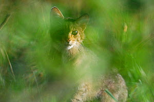 Wild cat (Felis silvestris) in undergrowth, Vosges, France, August - Fabrice Cahez