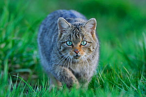 Wild cat (Felis silvestris) out hunting in field, stalking, Vosges, France, April  -  Fabrice Cahez