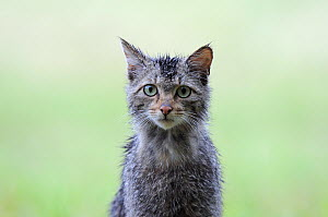 Wild cat (Felis silvestris) portrait, Vosges, France, June - Fabrice Cahez