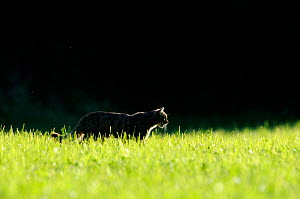 Wild cat (Felis silvestris) backlit, in field, Vosges, France, June - Fabrice Cahez