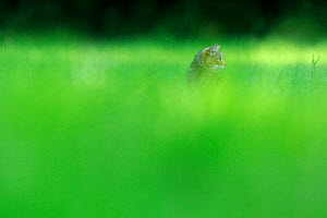 Wild cat (Felis silvestris) amongst vegetation, Vosges, France, June - Fabrice Cahez