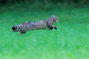 Wild cat (Felis silvestris) running, Vosges, France, June - Fabrice Cahez