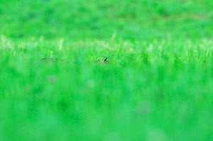 Wild cat (Felis silvestris) hidden in long grass, Vosges, France, July - Fabrice Cahez