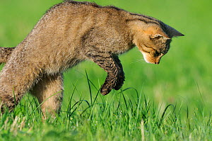 Wild cat (Felis silvestris) leaping on prey, Vosges, France, July - Fabrice Cahez