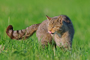 Wild cat (Felis silvestris) licking its lips, Vosges, France, July - Fabrice Cahez