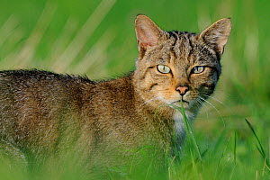 Wild cat (Felis silvestris) portrait, Vosges, France, July - Fabrice Cahez
