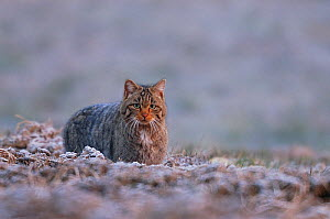 Wild cat (Felis silvestris) on frosty ground, Vosges, France, March - Fabrice Cahez