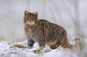 Wild cat (Felis silvestris) in snow, Vosges, France, November - Fabrice Cahez