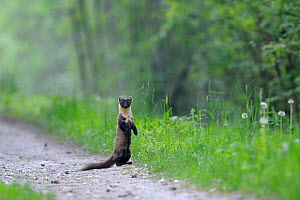 Pine marten (Martes martes) on track in the forest, Vosges forest, France, May - Fabrice Cahez
