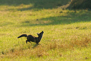 Red fox (Vulpes vulpes) hunting vole in grass, tossing vole into the air, Vosges, France, June - Fabrice Cahez