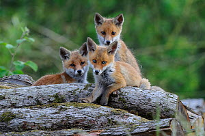 Red fox (Vulpes vulpes) three cubs on logs, Vosges, France, May - Fabrice Cahez