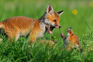 Red fox (Vulpes vulpes) cubs playing in grass, Vosges, France, April  -  Fabrice Cahez