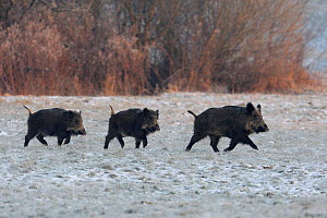 Three wild Boar (Sus scrofa) crossing snow covered field, Vosges, France, January  -  Fabrice Cahez