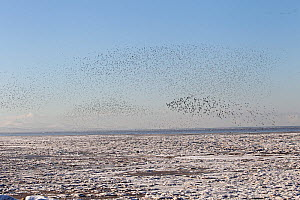 Wader flocks mainly Knot (Calidris canutus) in flight over Liverpool Bay with frozen shore in foreground and the North Wales coast in background. UK, December 2010. - Alan Williams