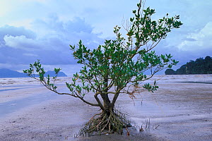Mangrove tree (Rhizophora sp) with aerial roots exposed at low tide, Bako NP, Borneo, Sarawak, Malaysia  -  Jouan & Rius