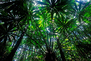 View up through Palm trees in swamp forest, Borneo, Sarawak, Malaysia  -  Jouan & Rius