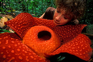 Woman looking at Rafflesia flower (Rafflesia keithii) in Gunung Gading NP, Borneo, Sarawak, Malaysia. Model released  -  Jouan & Rius