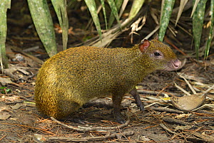 Central American Agouti (Dasyprocta punctata), Belize - Visuals Unlimited