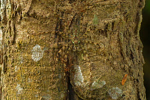 Lichen Spider (Sparassidae) camouflaged on tree bark, Erawan National Park, Thailand - Visuals Unlimited
