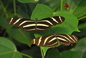Zebra Longwing Butterflies (Heliconius charithonia), Colombia  -  Visuals Unlimited