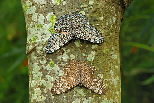 Variable Cracker Butterflies (Hamadryas feronia) on a lichen covered tree trunk, Colombia  -  Visuals Unlimited