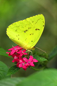 Cloudless Sulphur Butterfly (Phoebis sennae) adult nectaring on a red flower, Colombia - Visuals Unlimited
