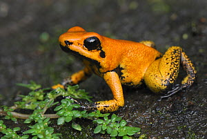 Golden Poison Dart Frog (Phyllobates terribilis) juvenile, Cauca, Colombia, an endangered species - Visuals Unlimited