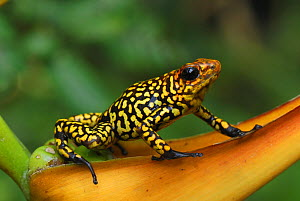 Harlequin Poison Frog (Oophaga histrionica) on a Heliconia, Cauca, Colombia - Visuals Unlimited