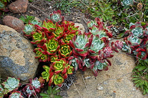 Powdery Dudleya (Dudleya farinosa), red and green forms, Salt Point State Park, Sonoma County, California, USA  -  Visuals Unlimited