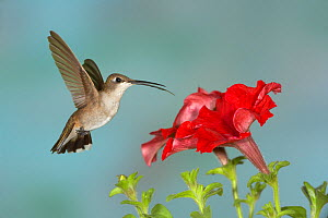Black-chinned Hummingbird (Archilochus alexandri) female flying.  -  Visuals Unlimited