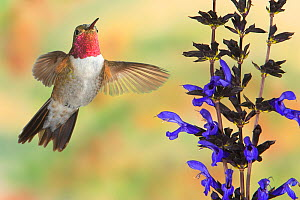 Broad-tailed Hummingbird (Selasphorus platycercus) male flying at Salvia (Salvia guaranitica) flower.  -  Visuals Unlimited