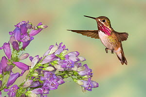 Calliope Hummingbird (Stellula calliope) male flying.  -  Visuals Unlimited