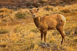 Bighorn Sheep calf (Ovis canadensis) grazing in Park County, Wyoming, USA.  -  Visuals Unlimited