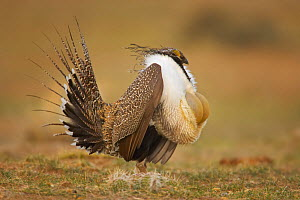 Male Greater Sage-Grouse (Centrocercus urophasianus) displaying.  -  Visuals Unlimited