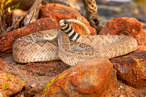 Western Diamondback Rattlesnake (Crotalus atrox).  -  Visuals Unlimited