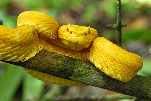 Eyelash Pit Viper (Bothriechis schlegelii) with yellow colouration, Cahuita National Park, Costa Rica  -  Visuals Unlimited