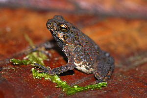 Smooth Skinned Toad (Bufo haematiticus) juvenile , Braulio Carrillo National Park, Costa Rica - Visuals Unlimited