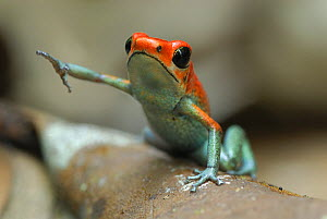 Granular Poison Frog (Oophaga granuliferus), Corcovado National Park, Costa Rica  -  Visuals Unlimited