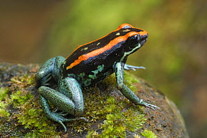 Orange and Black Poison-dart Frog (Phyllobates vittatus), Corcovado National Park, Costa Rica  -  Visuals Unlimited